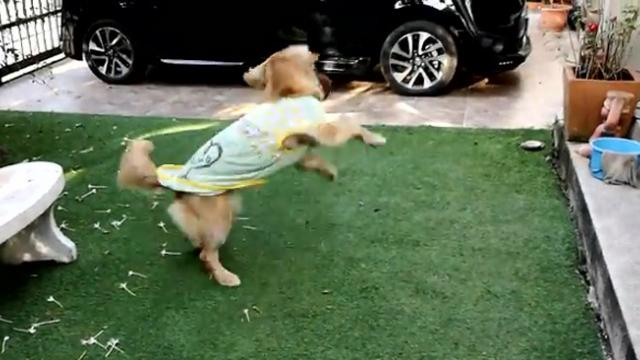 Football-Loving Dog Is Perfect Wide Retriever