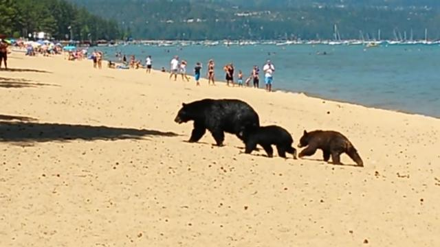 Mother bear and her cubs on the beach. Pope Beach. Lake Tahoe CA (IV) [_ZFc6S-MJkE]