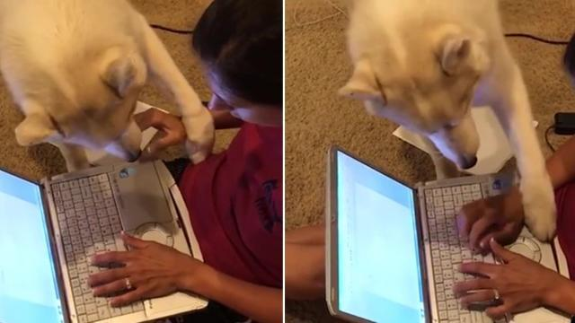 "This dog is like, ""Enough typing already, time to pet me!"""