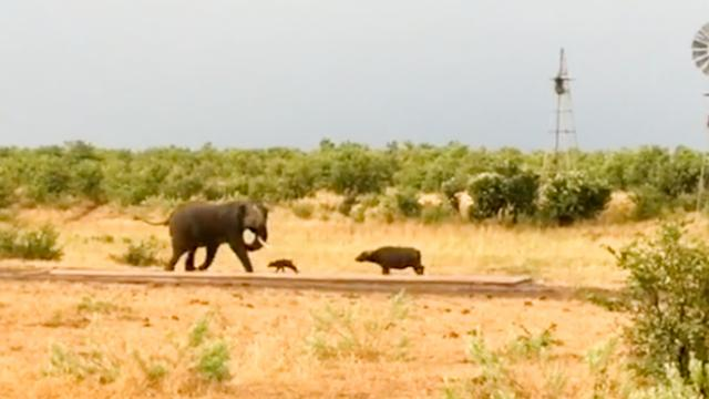 Baby buffalo gives elephant the run around in this hilarious safari encounter