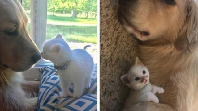 Kitten with Thumbs Found Love in Giant Dog Who Raised Him Into the Cuddliest Cat