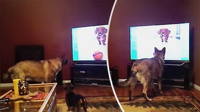 German shepherd is attracted by TV dog & ball—then owner