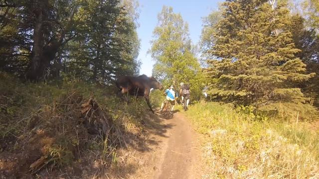Moose charges mountain bikers in Alaska_Large
