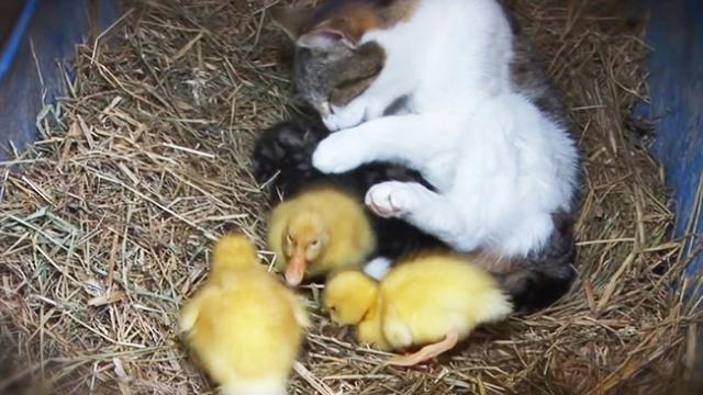 Mama Cat and Her Baby... Ducklings