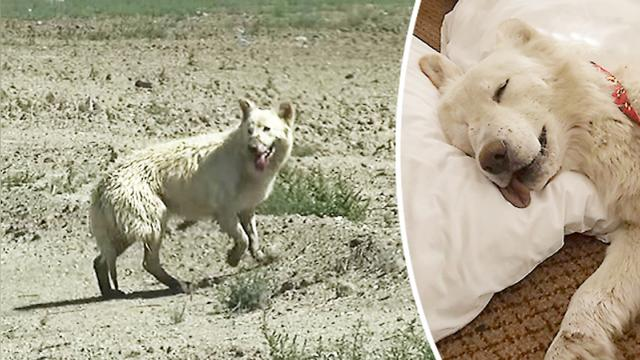 German shepherd dumped in blistering hot desert—when they