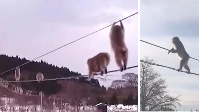 Monkeys Clamber Across Wires Between Homes