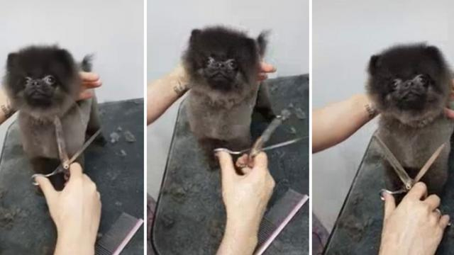 Groomer Turns On Music And Pup Instantly Bursts Into Impromptu Dance Routine