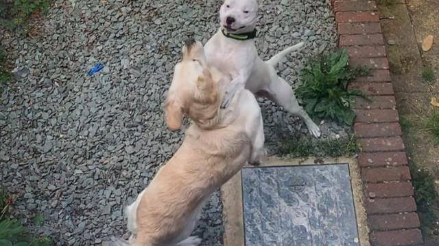 These Dog Neighbors Have The Ultimate Love Story - The Dodo