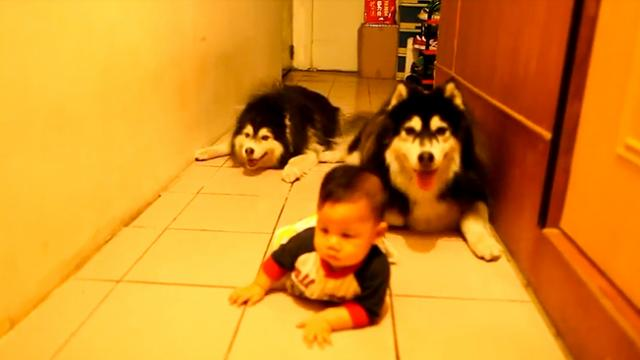 Cute Husky Dogs Crawling HQ