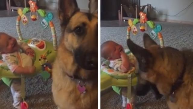 German Shepherds Treat Trick Makes Newborn Crack Up In Hysterical