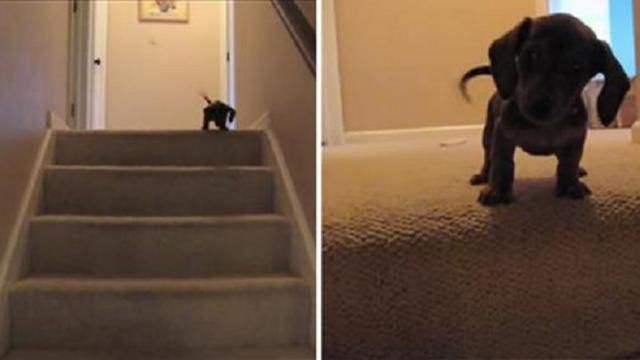This Little Puppy Is Learning To Use The Stairs Then This Happened…