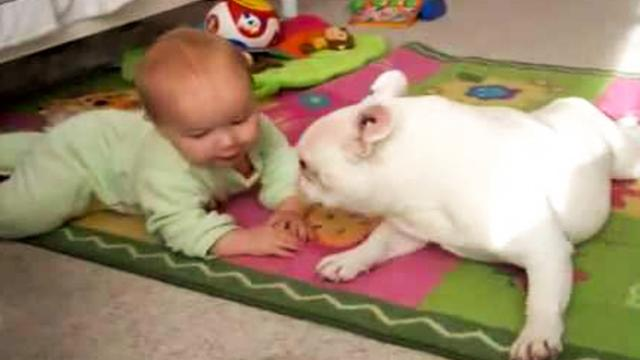 French Bulldog patiently teaches baby to crawl