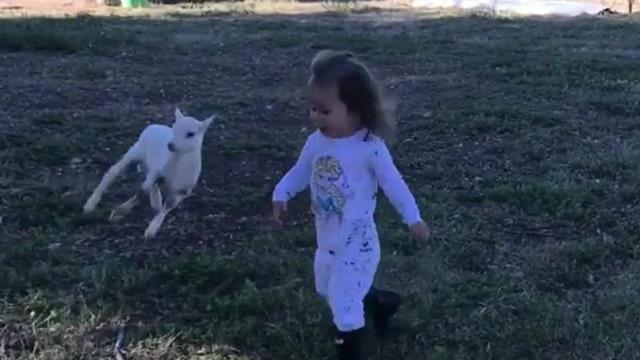 Lamb Runs Sideways To Chase After Best Friend -InspireMoreco