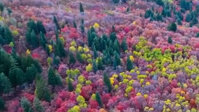 Dazzling Display of Colorful fall foliage captured by a drone flying high above northern Utah's Ogde