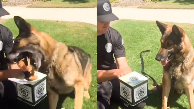 K9 German Shepherd Doesn't Like To Play With 'Jack in the Box'