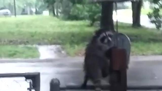 Rain-drenched raccoon huddles under tiny umbrella_Large
