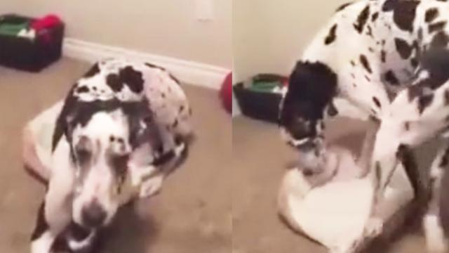 Great Big Great Dane Tries to Fit Himself Into a Tiny Little Bed