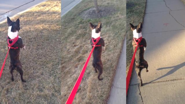 Owner Captures Hilarious Dog Running on Hind Legs, Then Yells Shes a Human