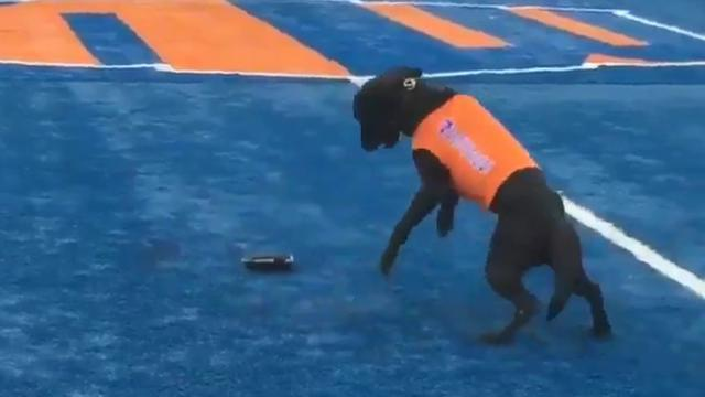 Helpful dogs at Boise State retrieve kickoff tees