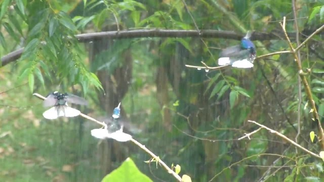 Hummingbirds Enjoy Rain Shower -- ViralHog