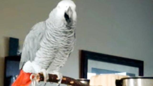 Larry the parrot dials an imaginary phone number, rambles a little, then starts