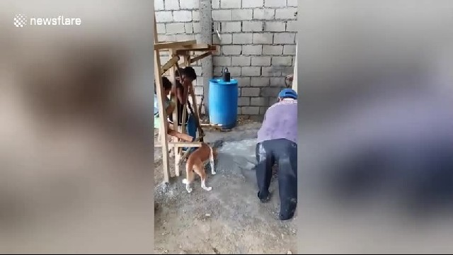 Pet dog helps its owner building house