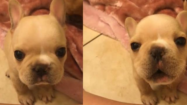 Adorable French Bulldog Puppies Trying To Howl Is The Cutest Thing Youll See All Day