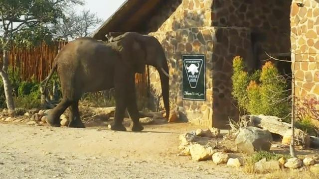 Cheeky elephant checks himself back into home after night out on game reserve
