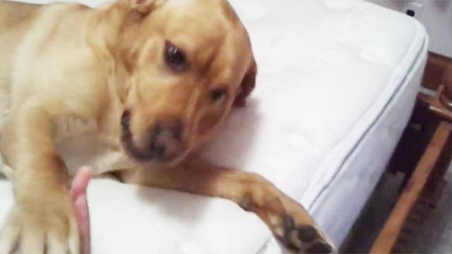 Lazy Dog Refused To Get Out Of Bed—Until Mom Says 1 Word.