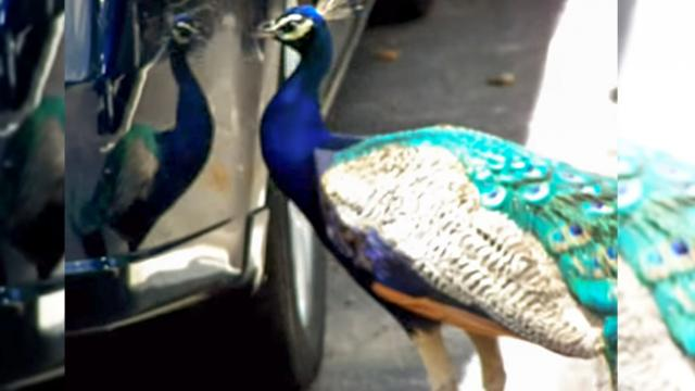 Crazy Peacock Attacks Reflection On Car & Damages Bumper