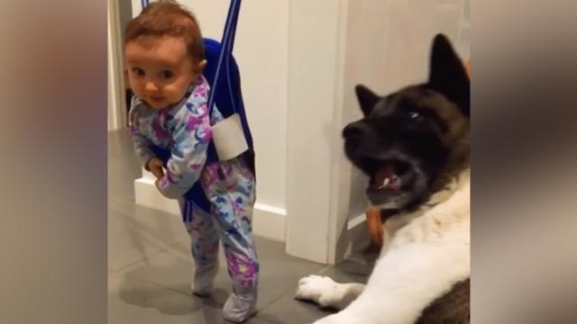 4 Month Old Baby Laughing at Sneezing American Akita