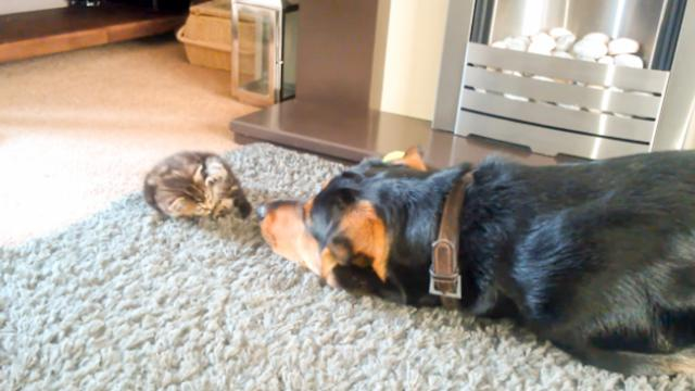 This Big Dog Is Begging A Tiny Kitten To Play With Him And It's Absolutely Adorable! - The Autism Si