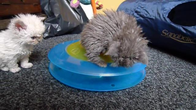 Selkirk Rex kittens - Tippy and Friends.avi