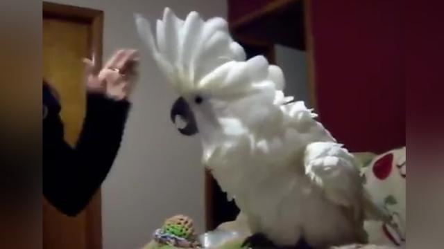 Cockatoo is being told off by human – but watch her wild reaction!