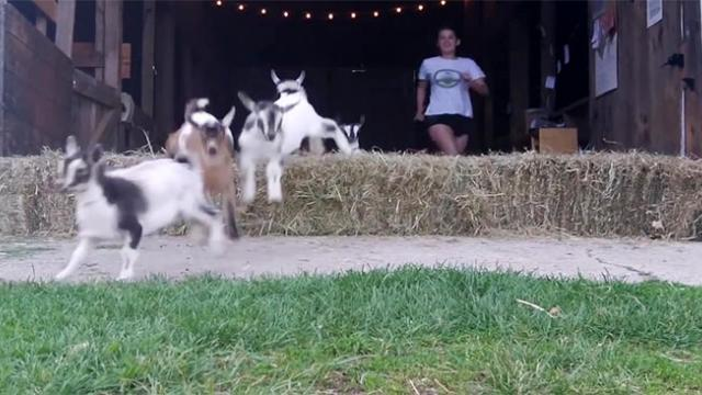 Stampede Of Baby Goats Might Be The Cutest Thing You Will See Today
