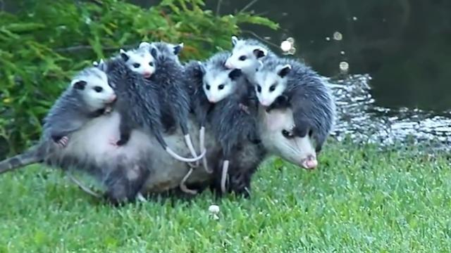 Opossum moms really know how to juggle it all