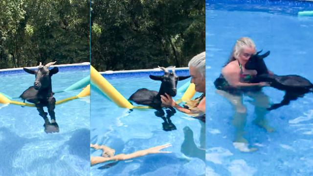 Rescue Goat Chills Out Floating In A Pool