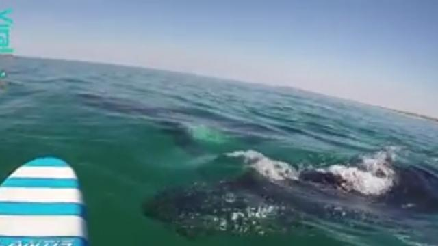 02-Breathtaking Moment Whales Swim Under Guy On Paddleboard-1