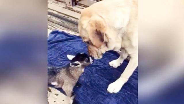 Yellow lab meets adorable day-old baby goat for the first time_2
