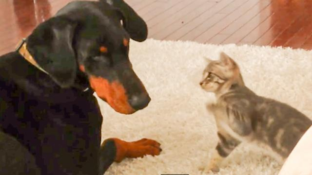 Dog Vs Cat- Cute 'Ninja' Kitten Shows Doberman Who's Boss