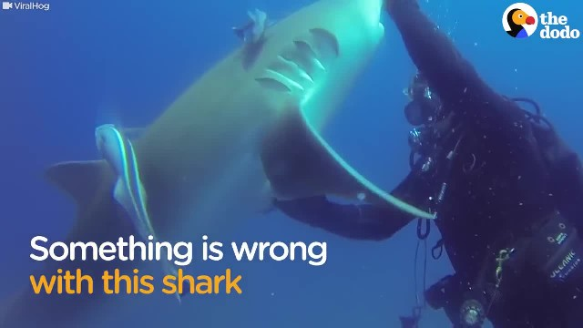 Shark Thanks Diver For Removing Nasty Hook - The Dodo