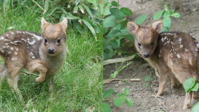 Pudu fawn is just 5 days old