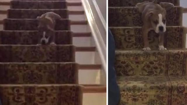 Awkward puppy can't figure out how to use his limbs to get down