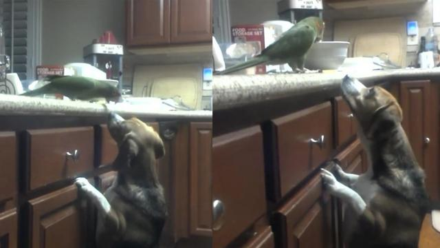 Bird Feeds Spaghetti to a Dog