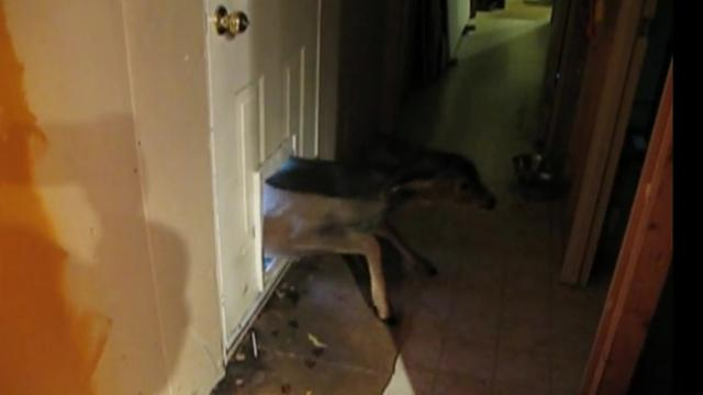 Big Dog Squeezes Through Doggy Door To Follow His Tiny Friends