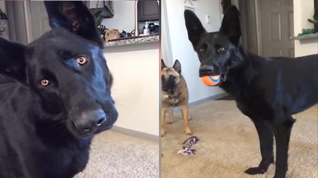 German Shepherd's Jaw-Dropping Reaction To Crying Noise On Video Is Too Funny.