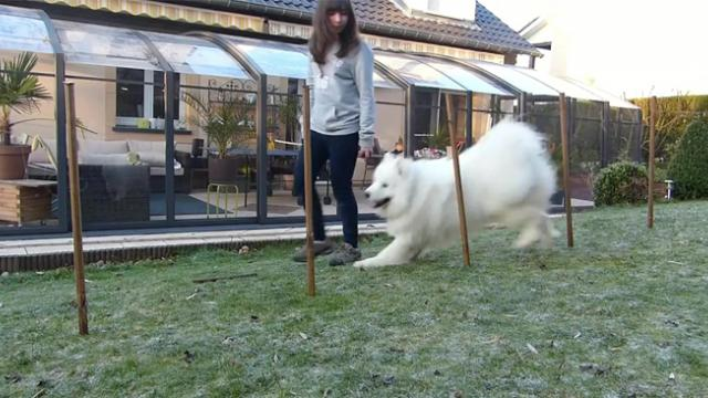 Gorgeous Samoyed Dog Happily Performs the Wonderful Tricks That He's Learned Over the Past Year