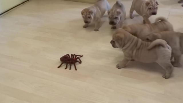 Will These Adorable Puppies Defeat A Robot Spider Watch