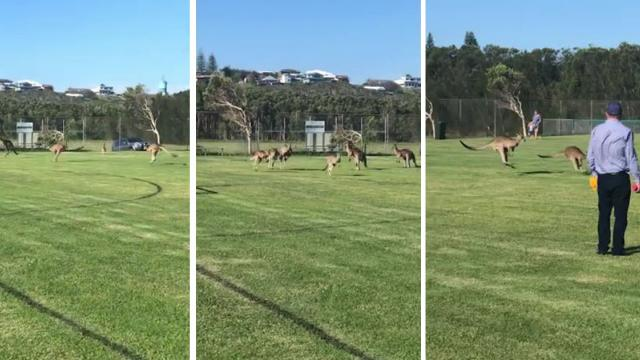 Now that's a soccer-rio! Mob of kangaroos interrupt Australian_Large