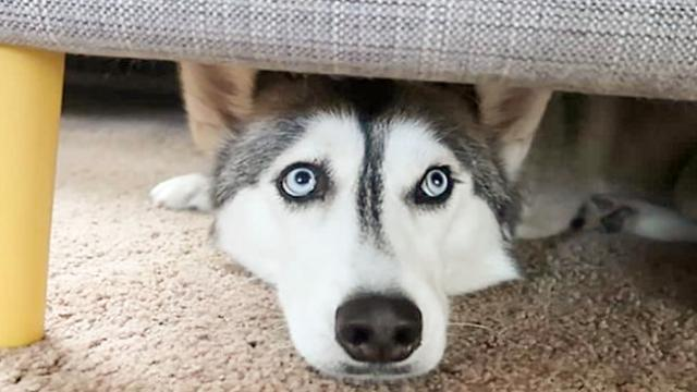 Husky Goes Absolutely Insane For Ice Cubes